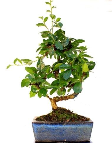 S gövdeli carmina bonsai ağacı  Bartın çiçek yolla  Minyatür ağaç