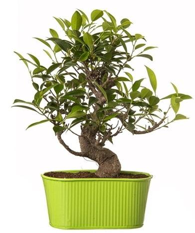 Ficus S gövdeli muhteşem bonsai  Bartın çiçek siparişi sitesi