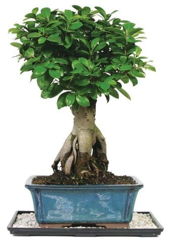 Bonsai Ginsing Grafted Ficus Bonsai  Bartın çiçek yolla