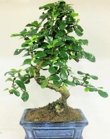 Zelkova S gövdeli Minyatür ağaç Bonzai  Bartın çiçek gönderme