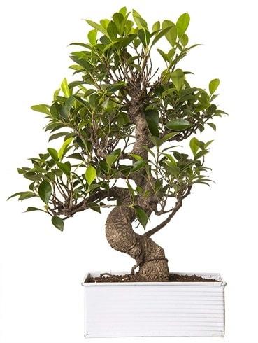 Exotic Green S Gövde 6 Year Ficus Bonsai  Bartın çiçek gönderme sitemiz güvenlidir