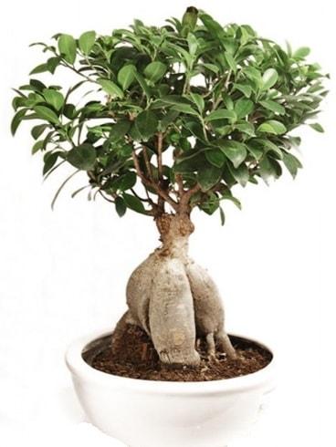Ginseng bonsai japon ağacı ficus ginseng  Bartın İnternetten çiçek siparişi